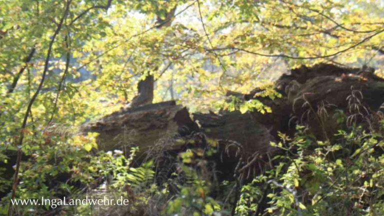 Ein gefallener Baum in Hasbruch