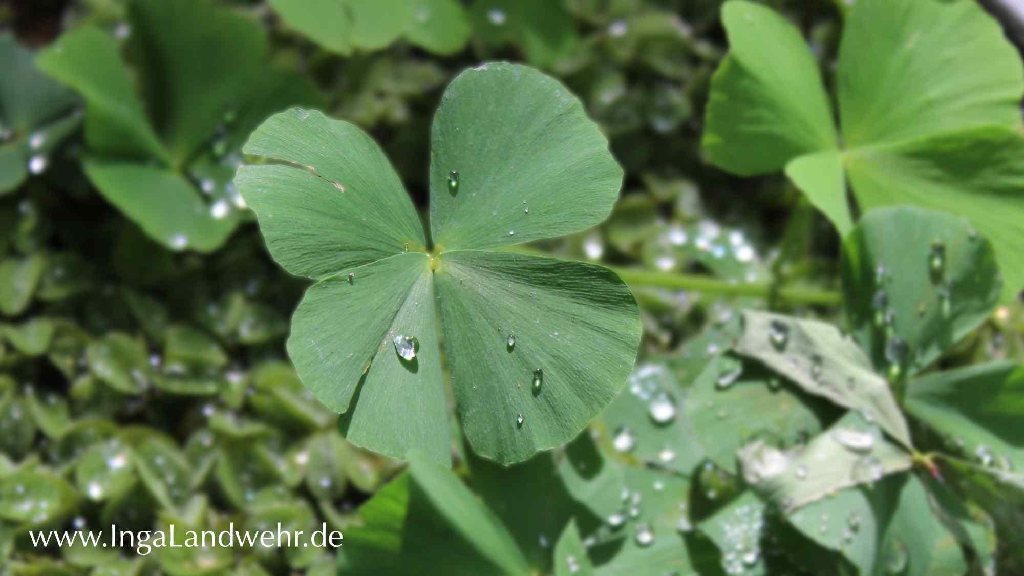 Ein vierblättriger Glücksklee in einem Teich